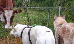 Individuele sessies: ontmoeting van Tjakkar en Aïsha met een koe